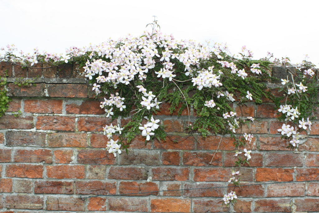 Garden, Clematis, Spring, Flower, 365, 366
