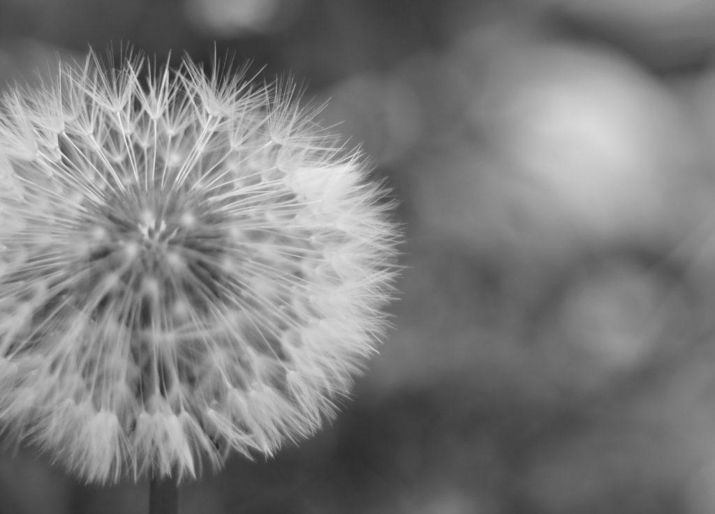Dandelion, 365, 366, Garden