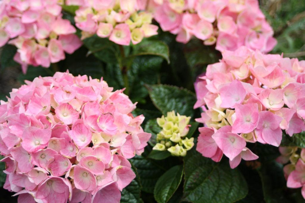 Hydrangea, Garden, 365, 366