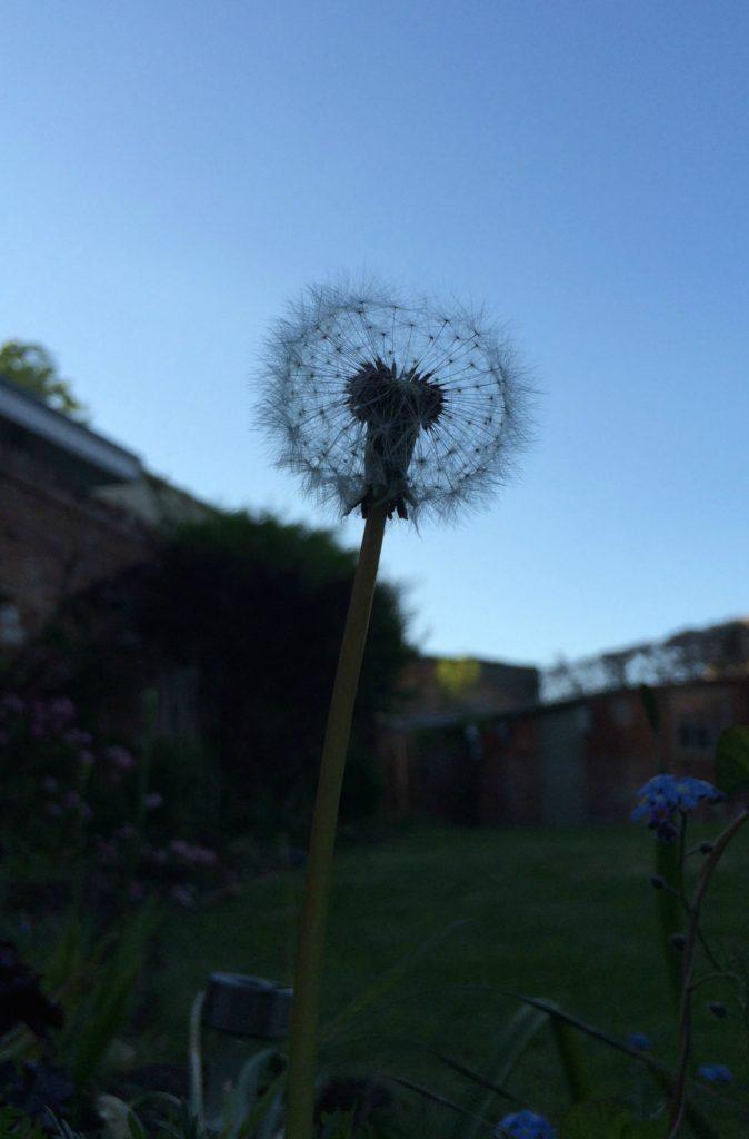 Silent Sunday, My Sunday Photo, Garden, Dandelion, Silhouette