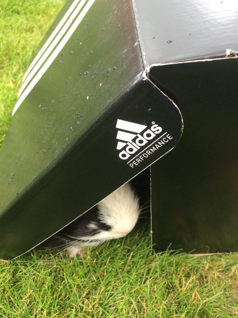 Guinea pig, Pet, 365, 366