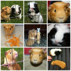 Two years of guinea pigs