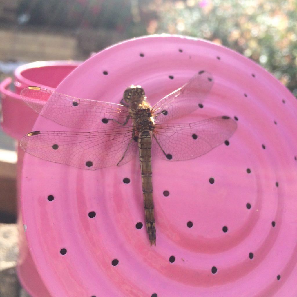 Dragonfly, Garden, 365, 366