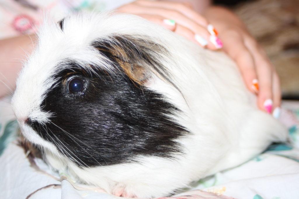 Eric, Guinea pig, Pet, 365, 366