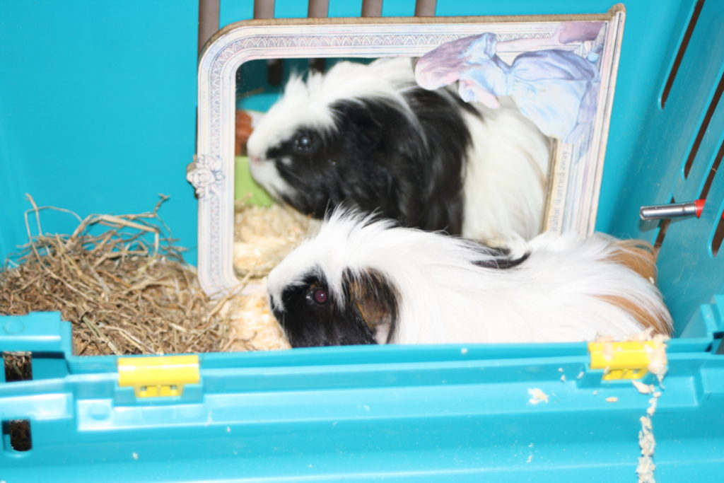 Eric, Guinea pig, Pet