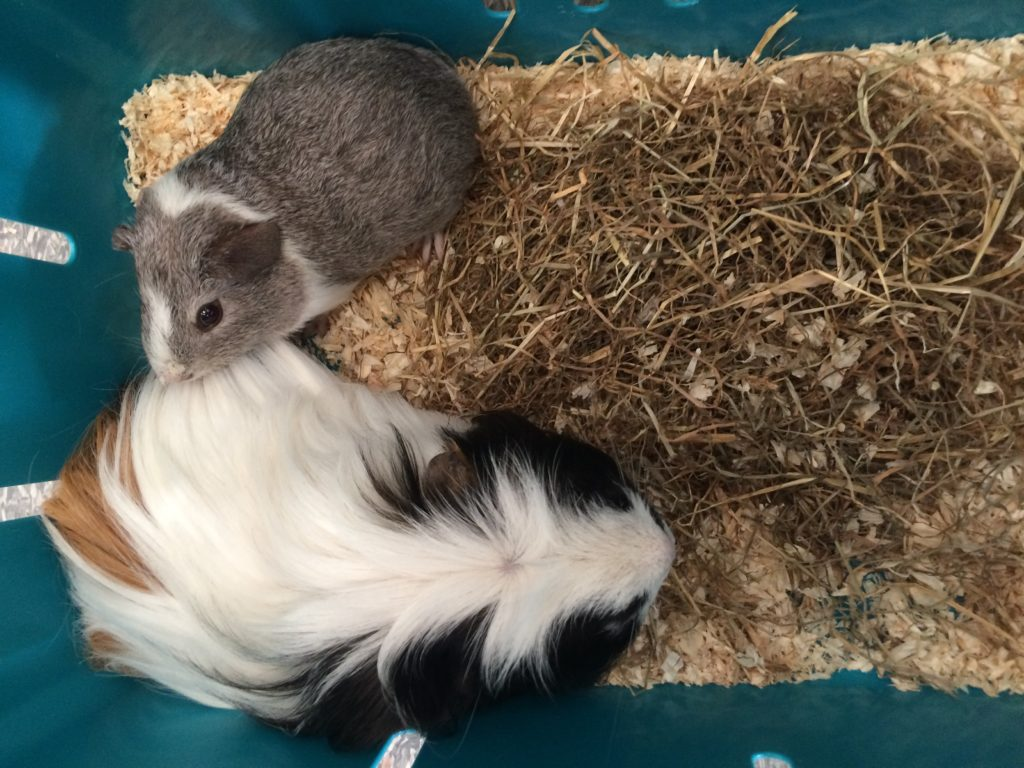 Guinea pigs, Pets, Eric, Wilfred