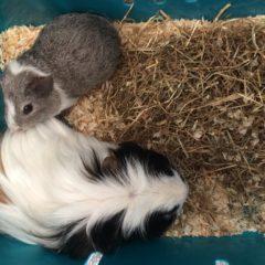 The new guinea pig