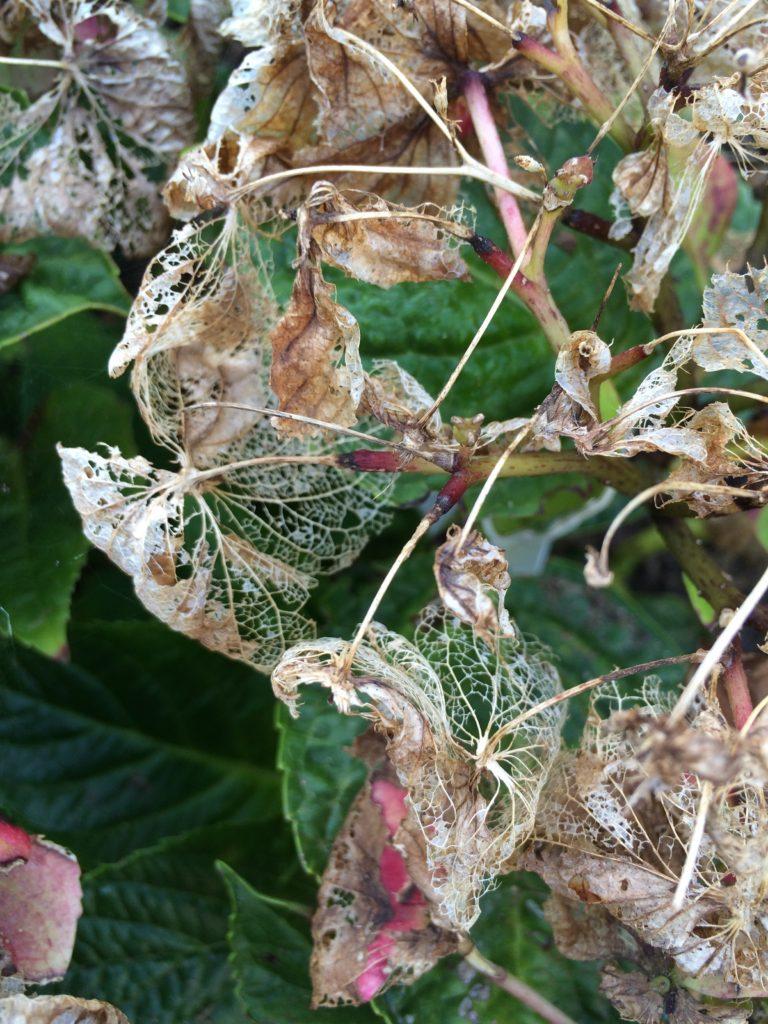 Garden, Hydrangea, 365, 366, Autumn