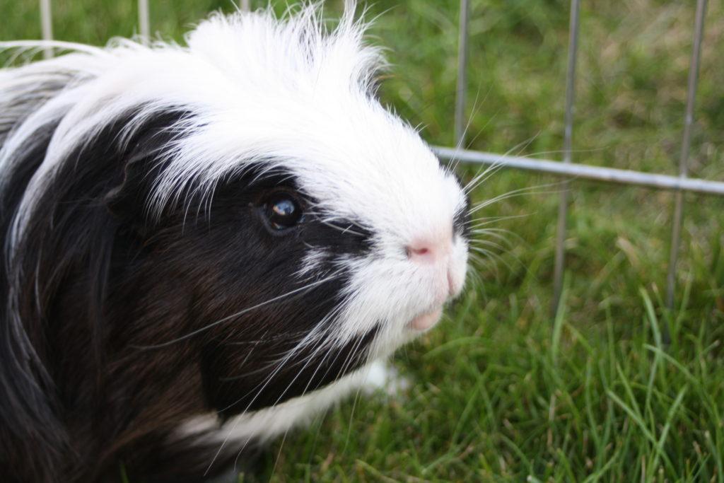 Eric, Guinea pig, Pet, Silent Sunday, My Sunday Photo