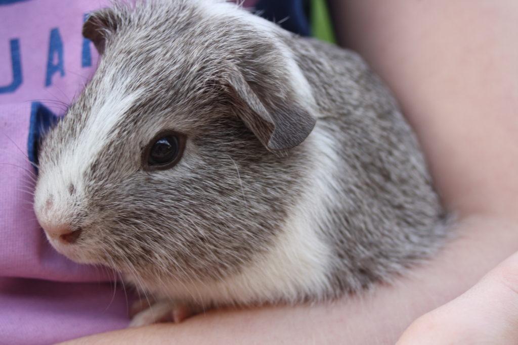 Guinea pig, Pet, Silent Sunday, My Sunday Photo, Wilfred