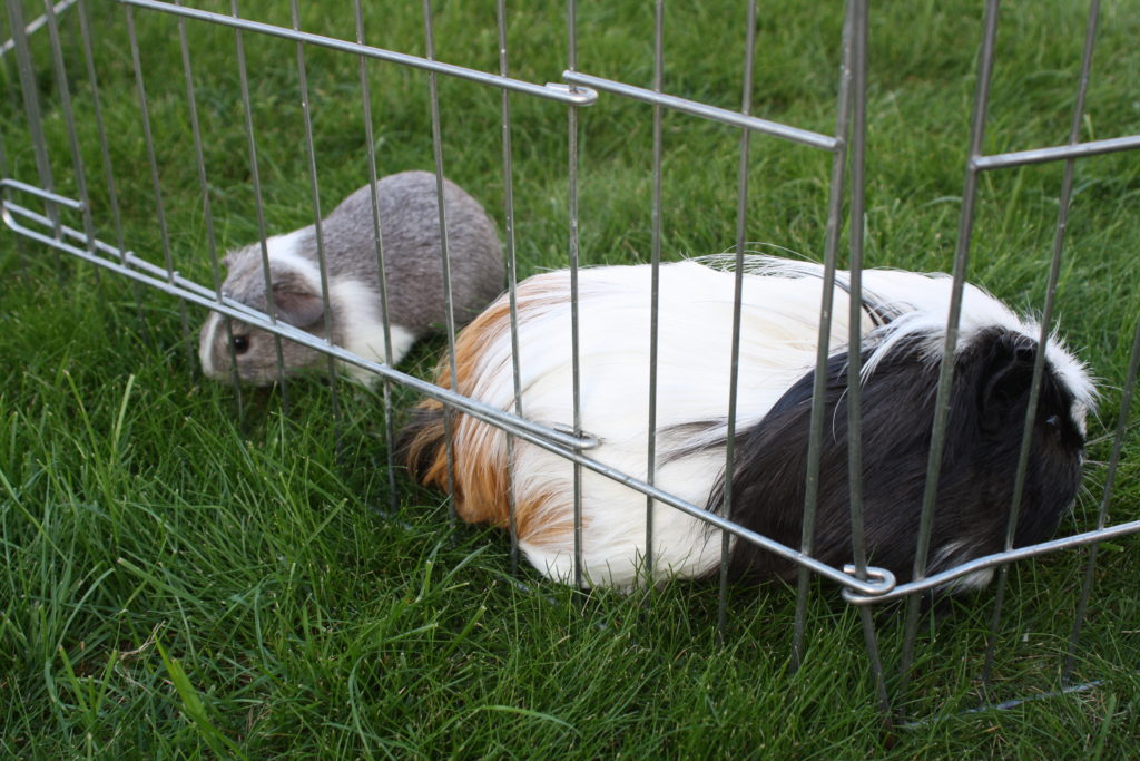Pets, Guinea pigs, Eric, Wilfred, 365, 366