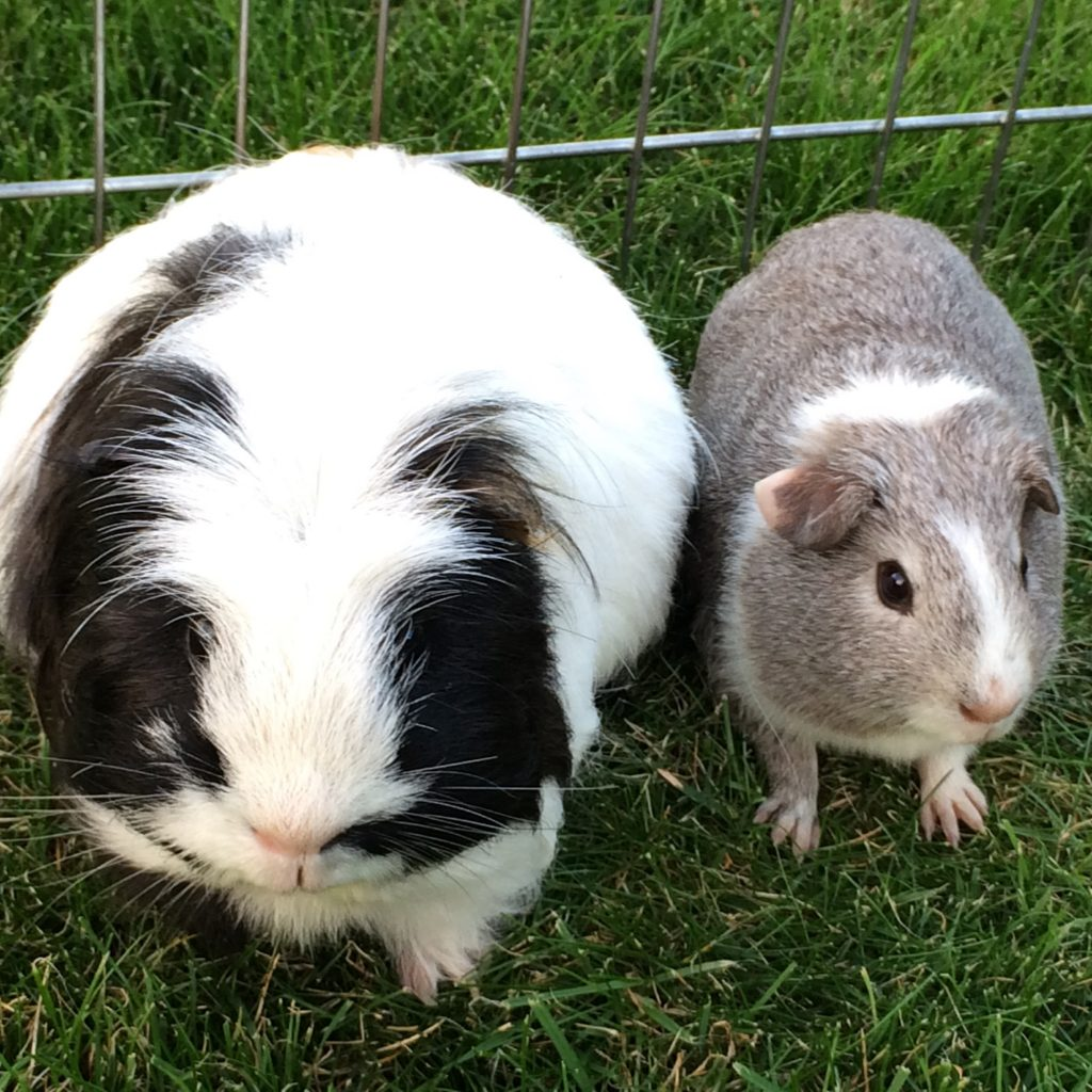 Guinea pigs, Pets, Eric, Wilfred, 365, 366