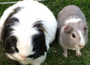 Eric and Wilfred – a match made in guinea pig heaven