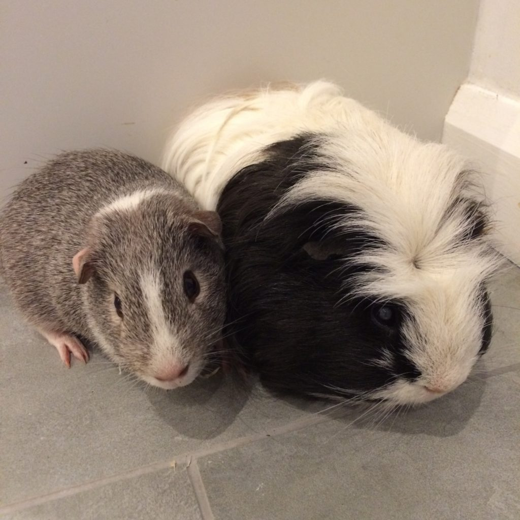 Guinea pigs, Pets, 365, 366