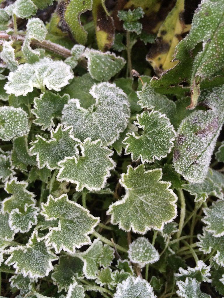 Frost, Garden, Winter, 365, 366