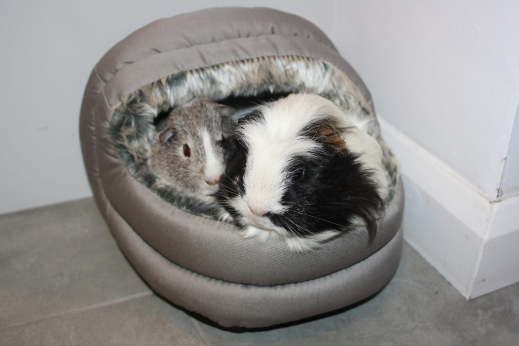 My Sunday Photo, Silent Sunday, Guinea pigs, Pets, Eric, Wilfred