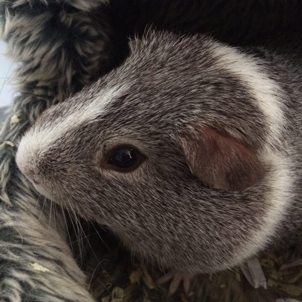 Wilfred, Guinea pig, 365, 366