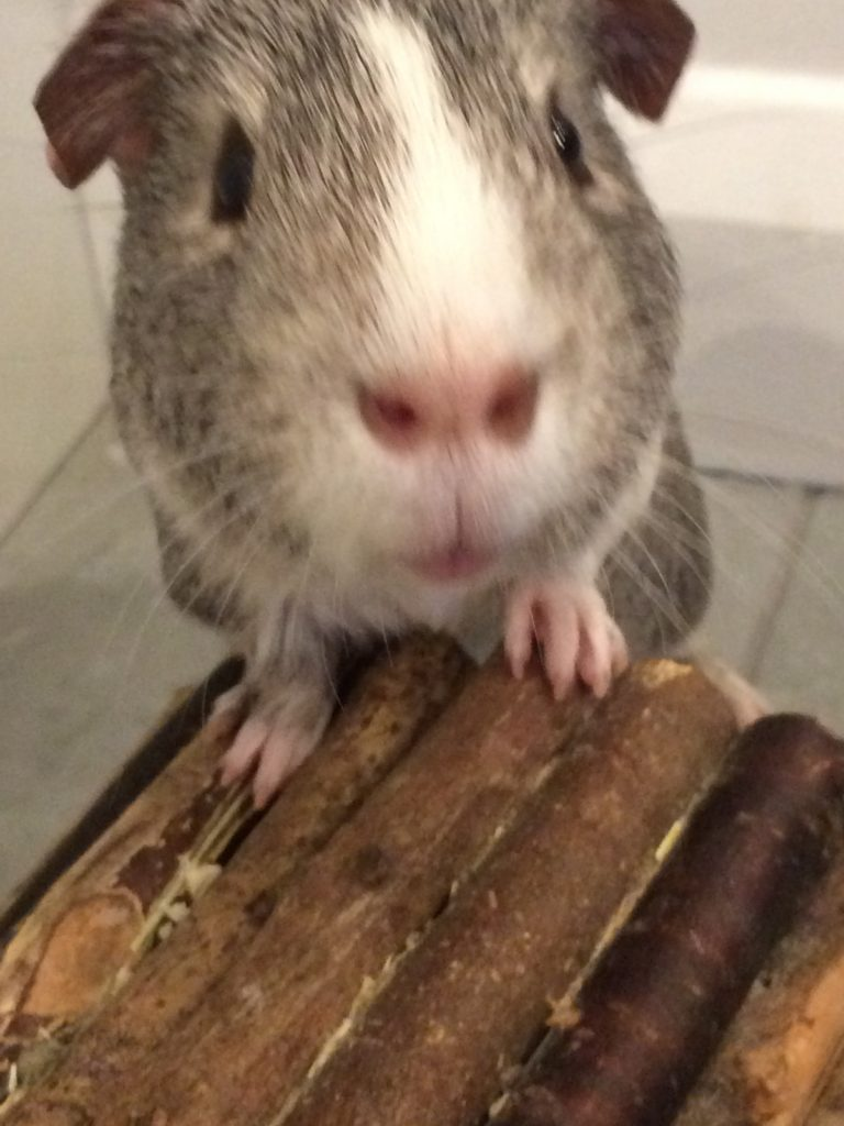 Wilfred, Guinea pig, Pet, 365