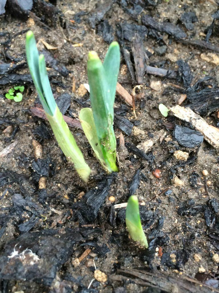 Garden, Daffodils, 365