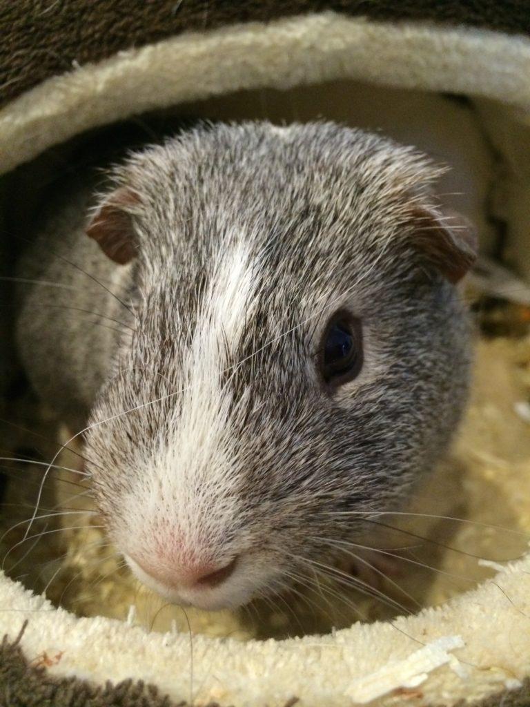 Guinea pig, Wilfred, Pet, 365