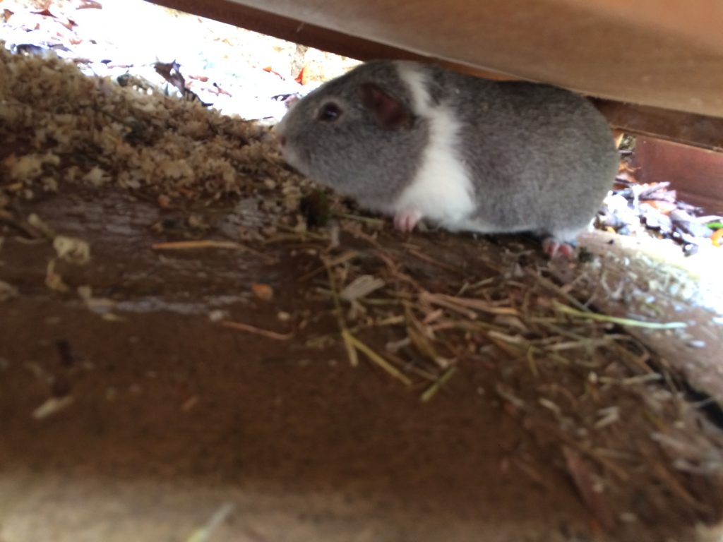 Guinea Pig, Pet, Wilfred, 365