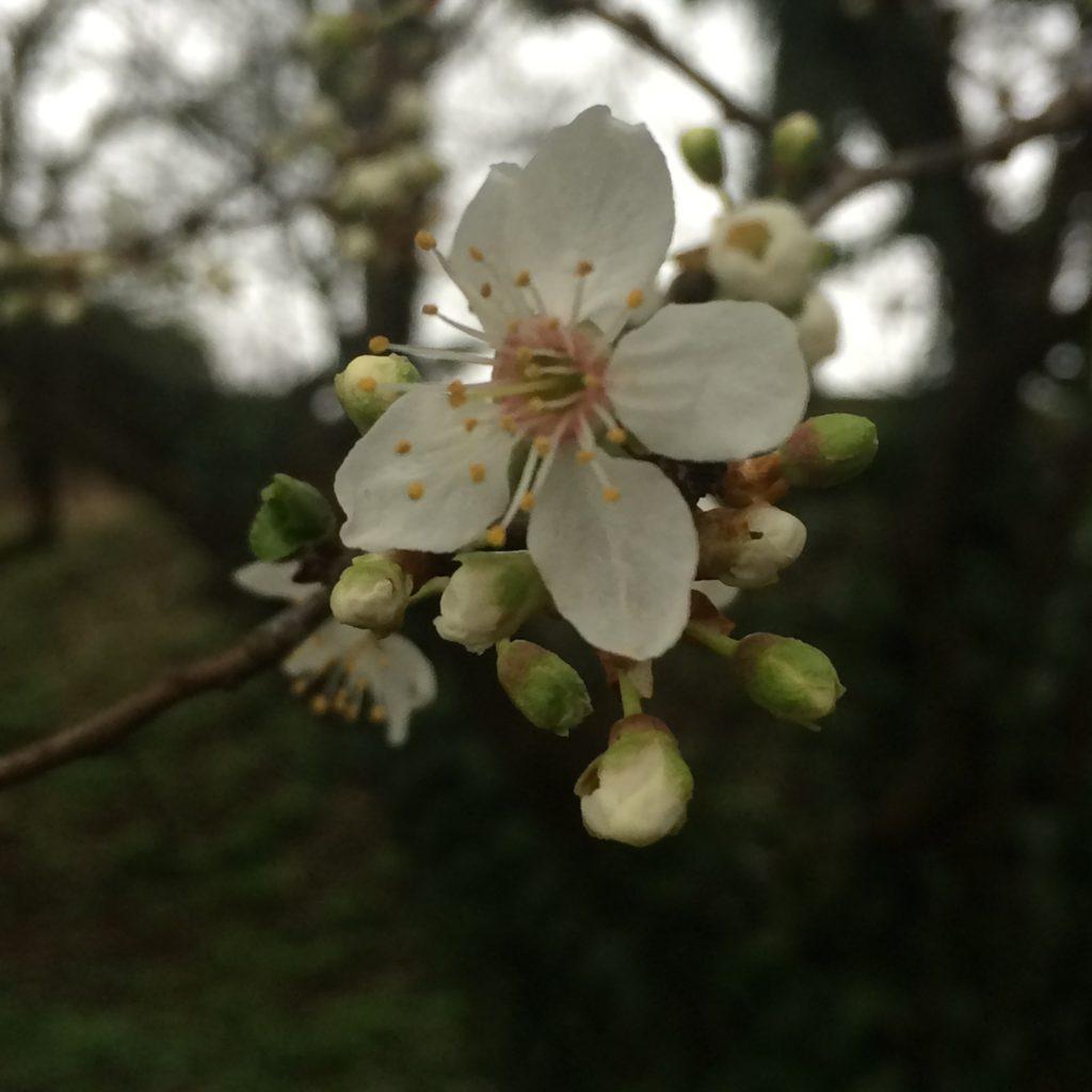 spring, blossom, 365