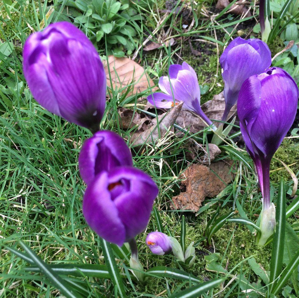 Crocuses, Garden, Spring, 365
