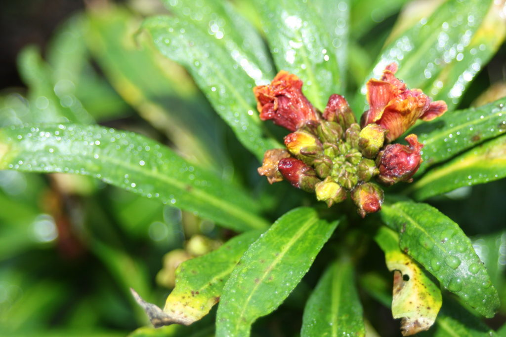 Garden, Wallflower, Silent Sunday, My Sunday Photo