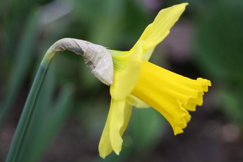 Daffodil, Garden, Spring, My Sunday Photo, Silent Sunday