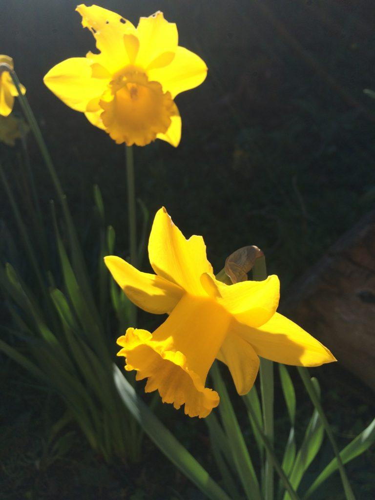 Daffodils, Garden, 365