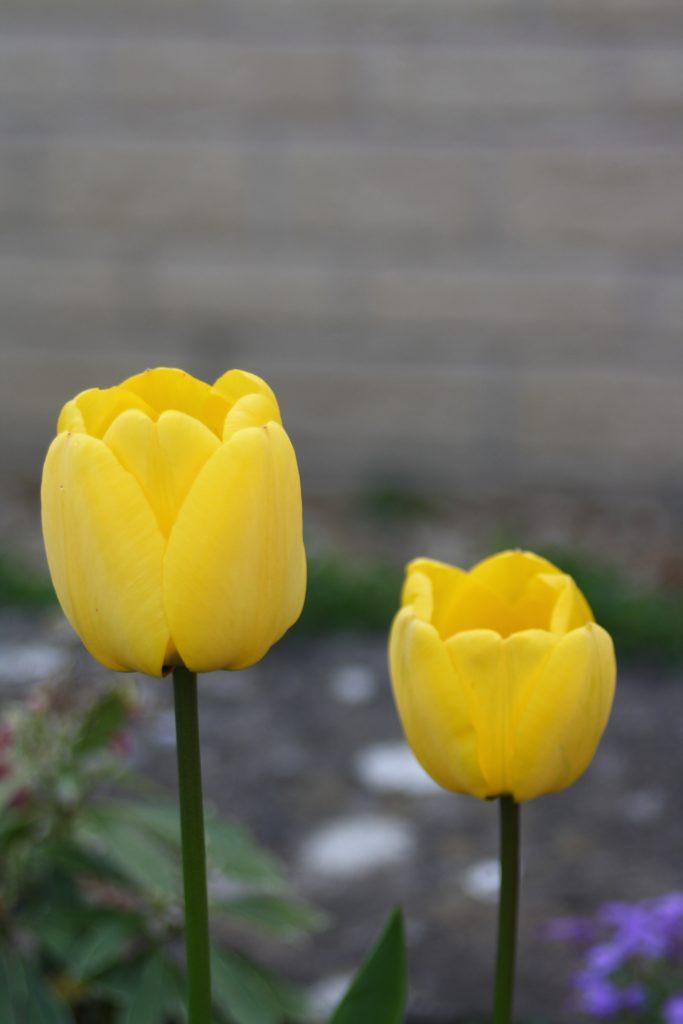 Tulips, Garden, 365, Spring, Flowers
