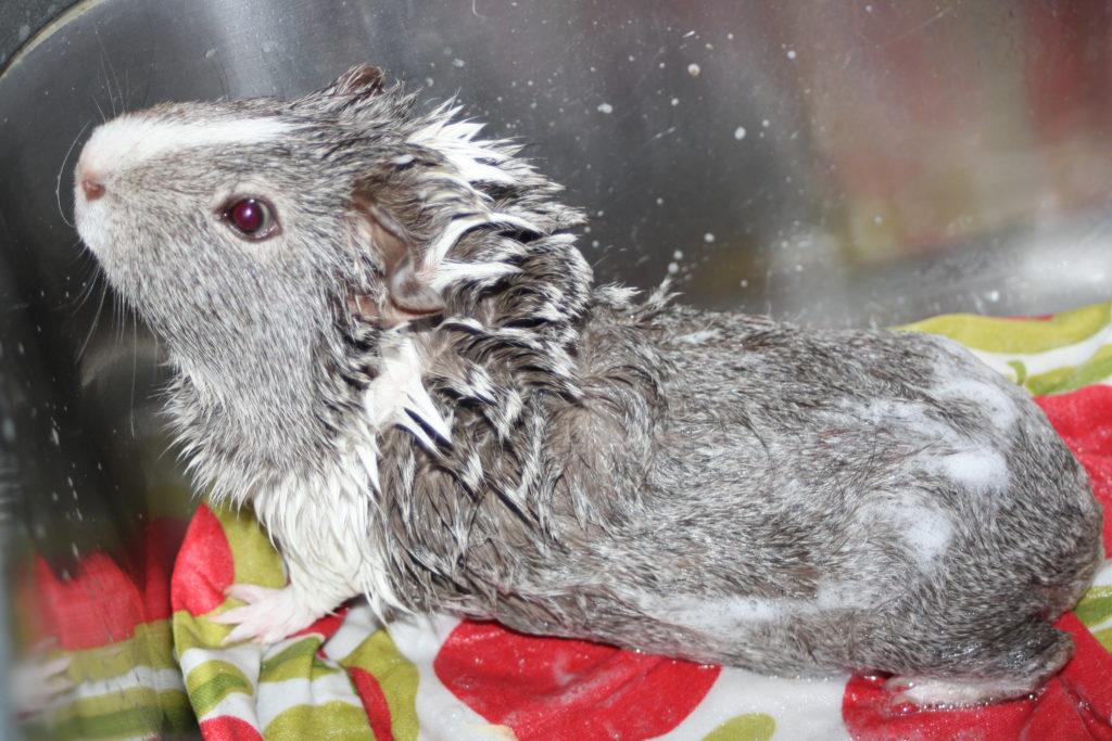 365, Wilfred, Guinea pig, Pet, Bath