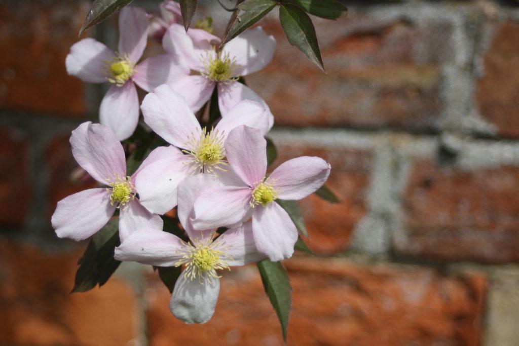 Clematis, Garden, Flower, 365