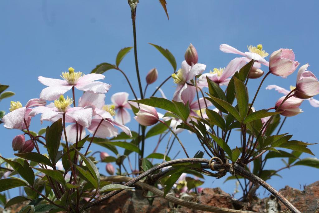 Clematis, Garden, Flower, Spring, 365