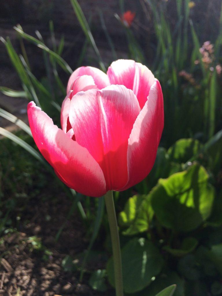 Tulip, Garden, 365