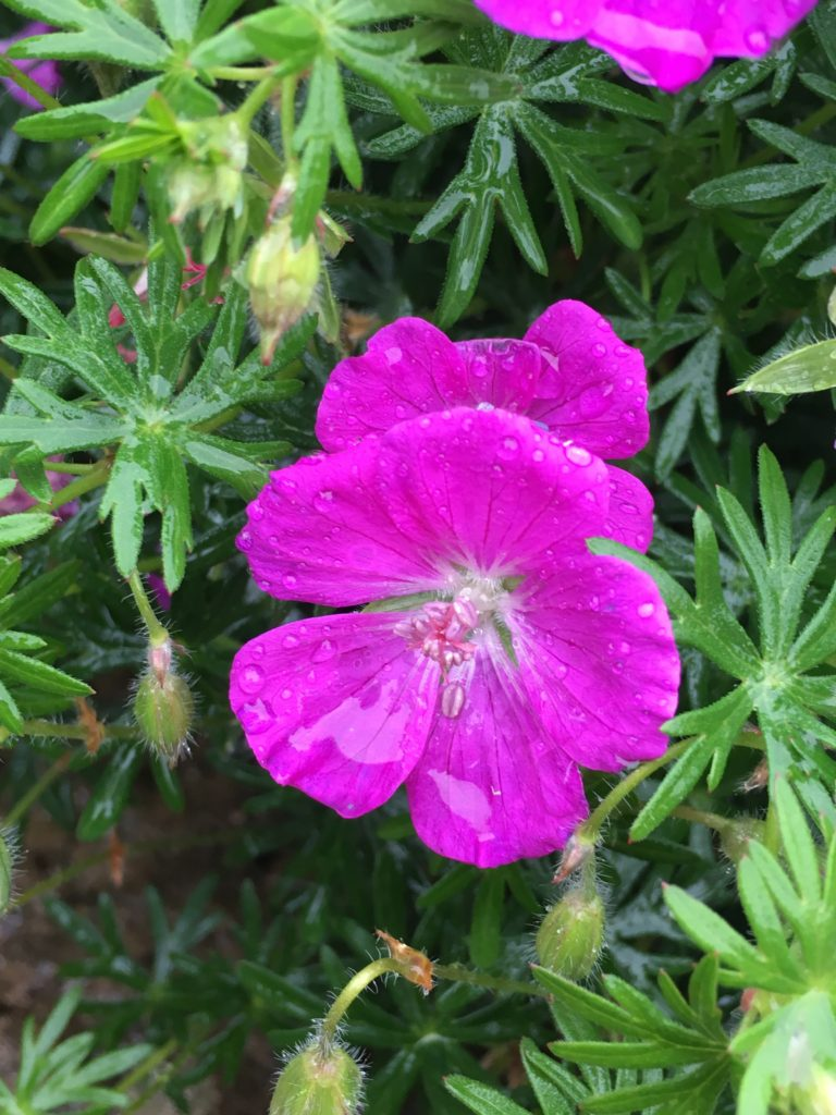 Flower, Garden, Raindrops, 365