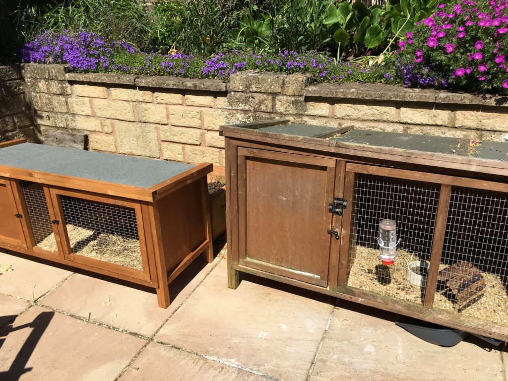 Guinea pig hutches, When Wilfred the guinea pig lost the plot