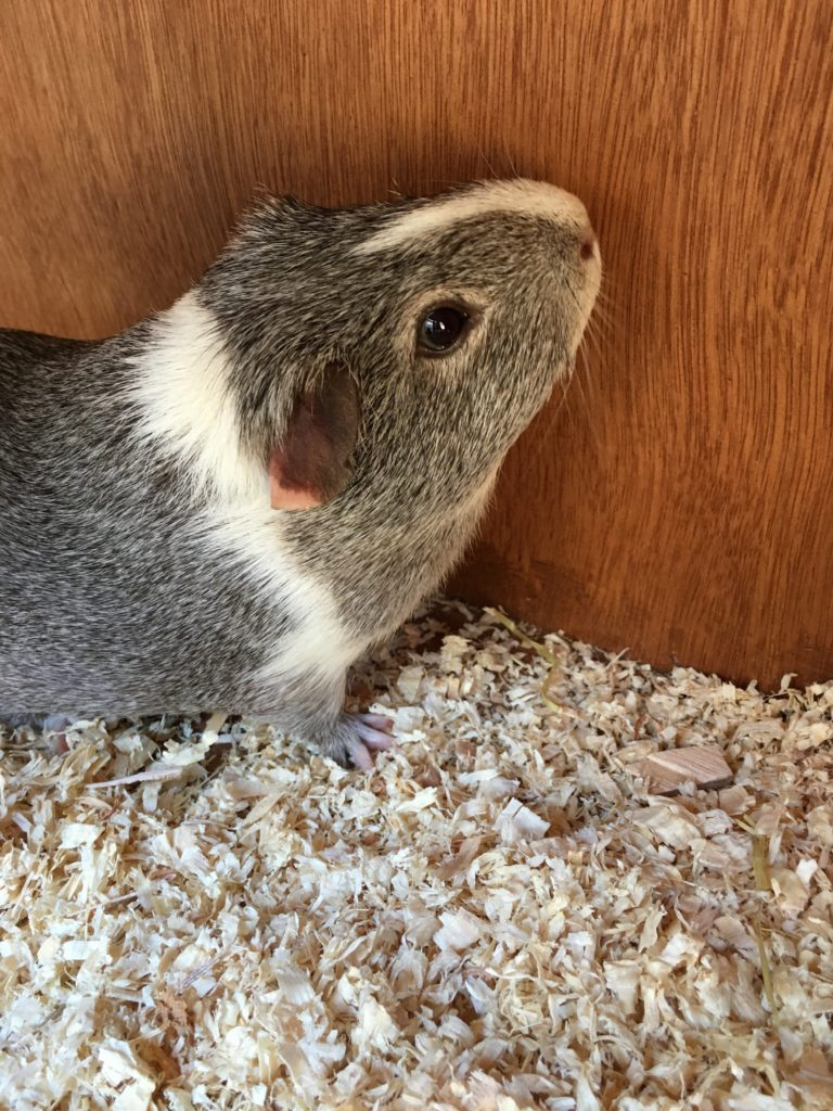 Wilfred, Guinea pig, Pet, Neutered, 365