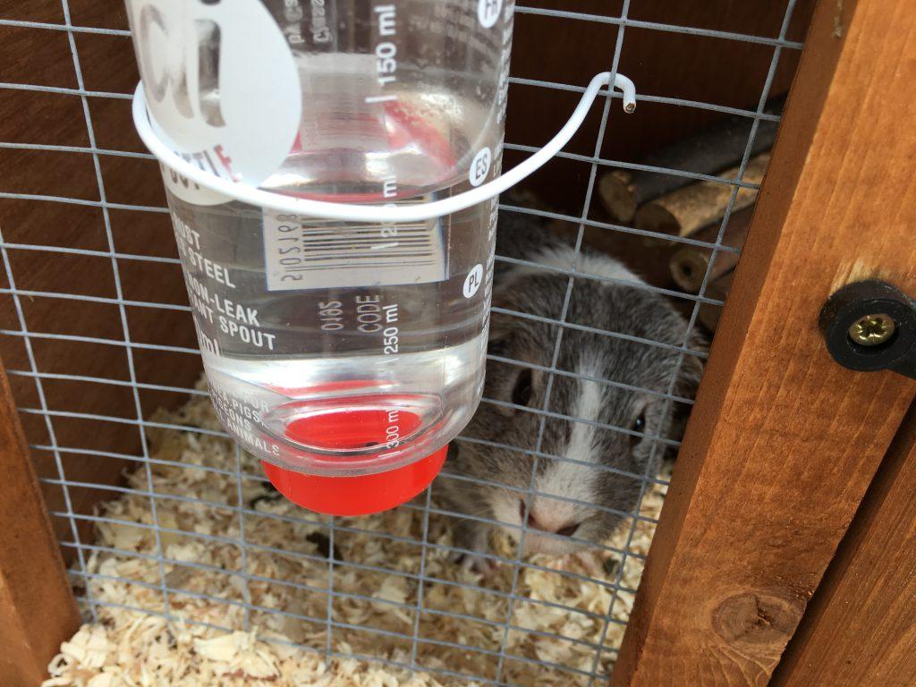 guinea pig, hutch, 365