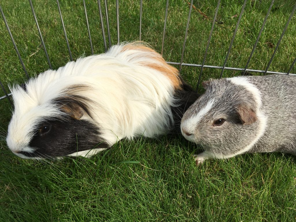 Guinea pigs, Eric, Wilfred, 365