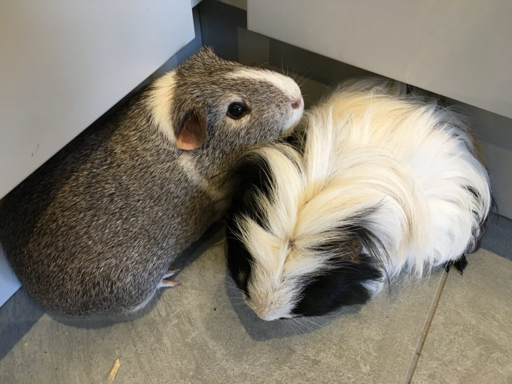 Guinea pigs, Pets, 365