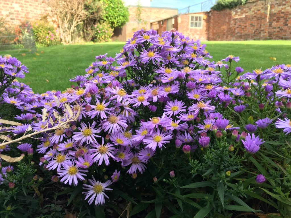 Flowers, Autumn, 365, Michaelmas daisies