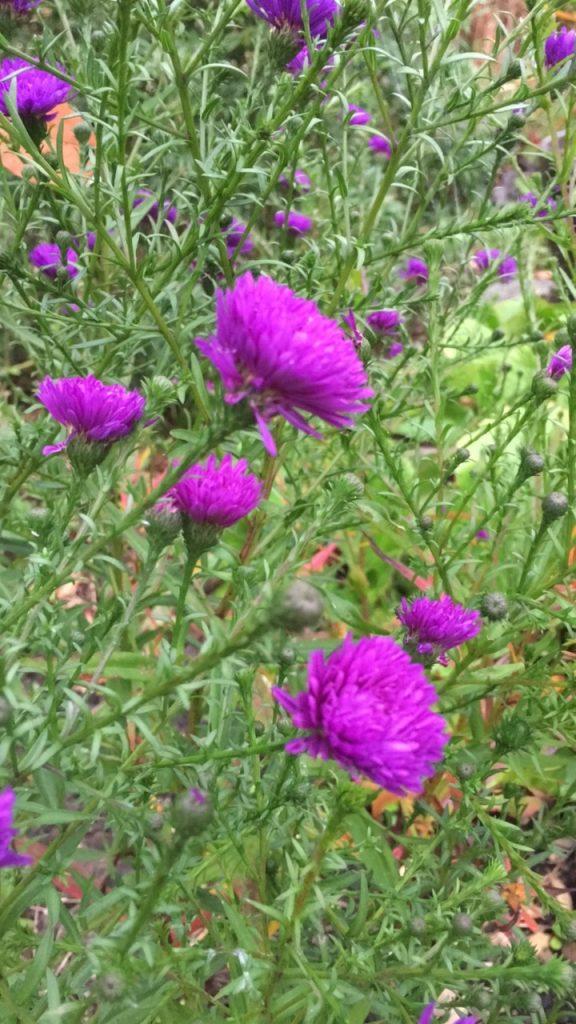 Flowers, Garden, Autumn, 365