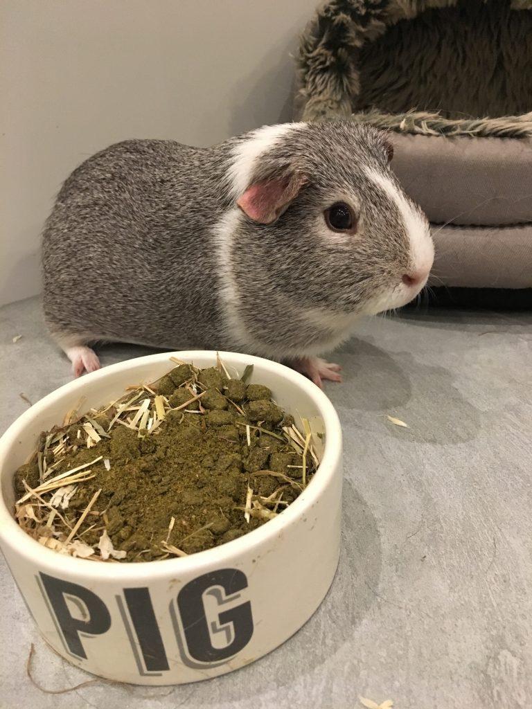 Guinea pig, Wilfred, Silent Sunday, My Sunday Photo
