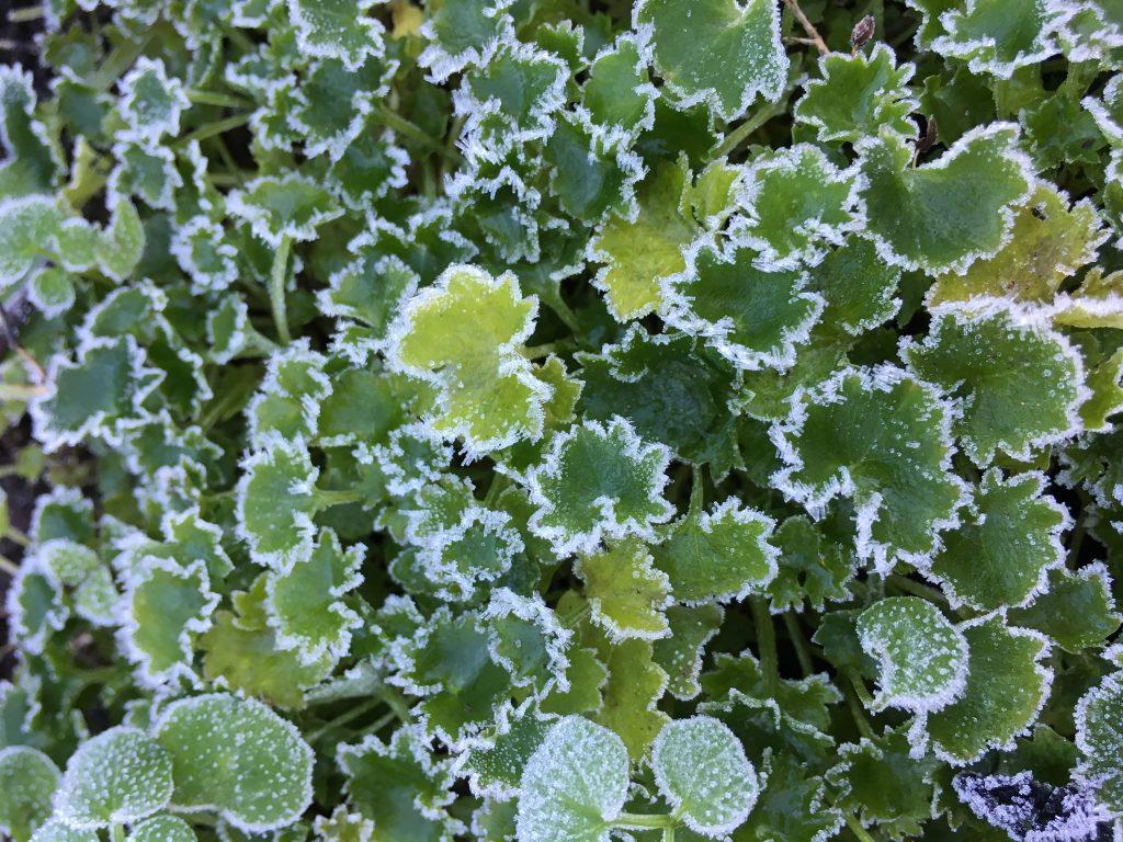 Frost, Garden, Leaves, 365