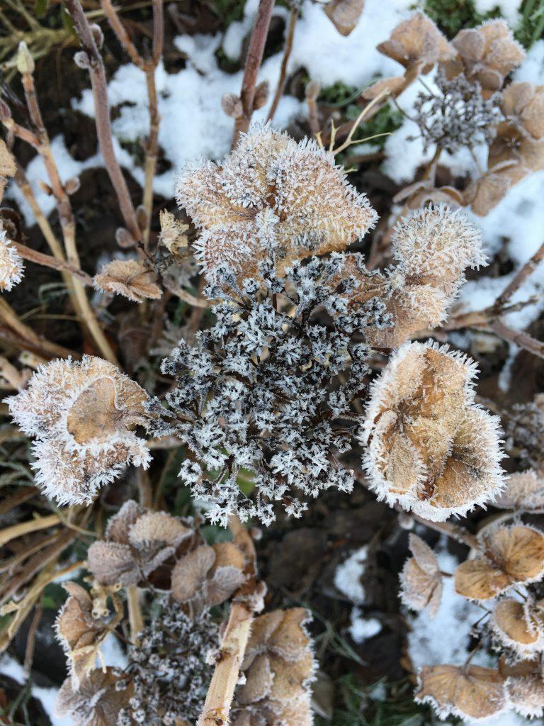 Frost, Snow, Garden, Hydrangea, Winter, 365