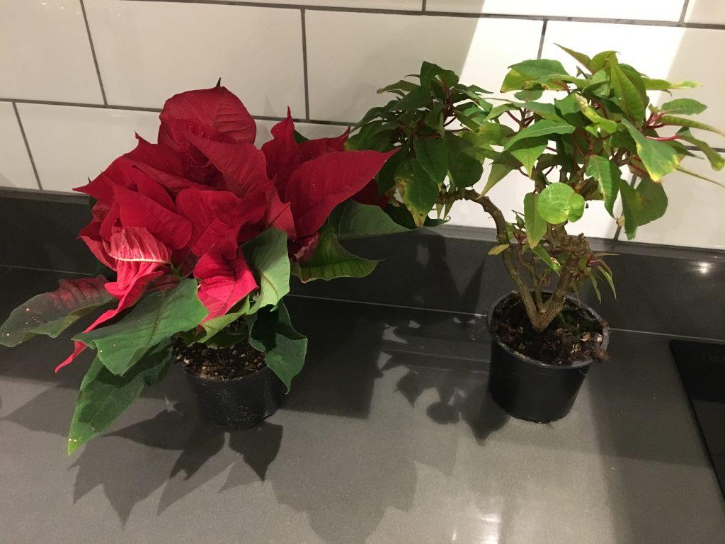 Poinsettias, Plants, 365