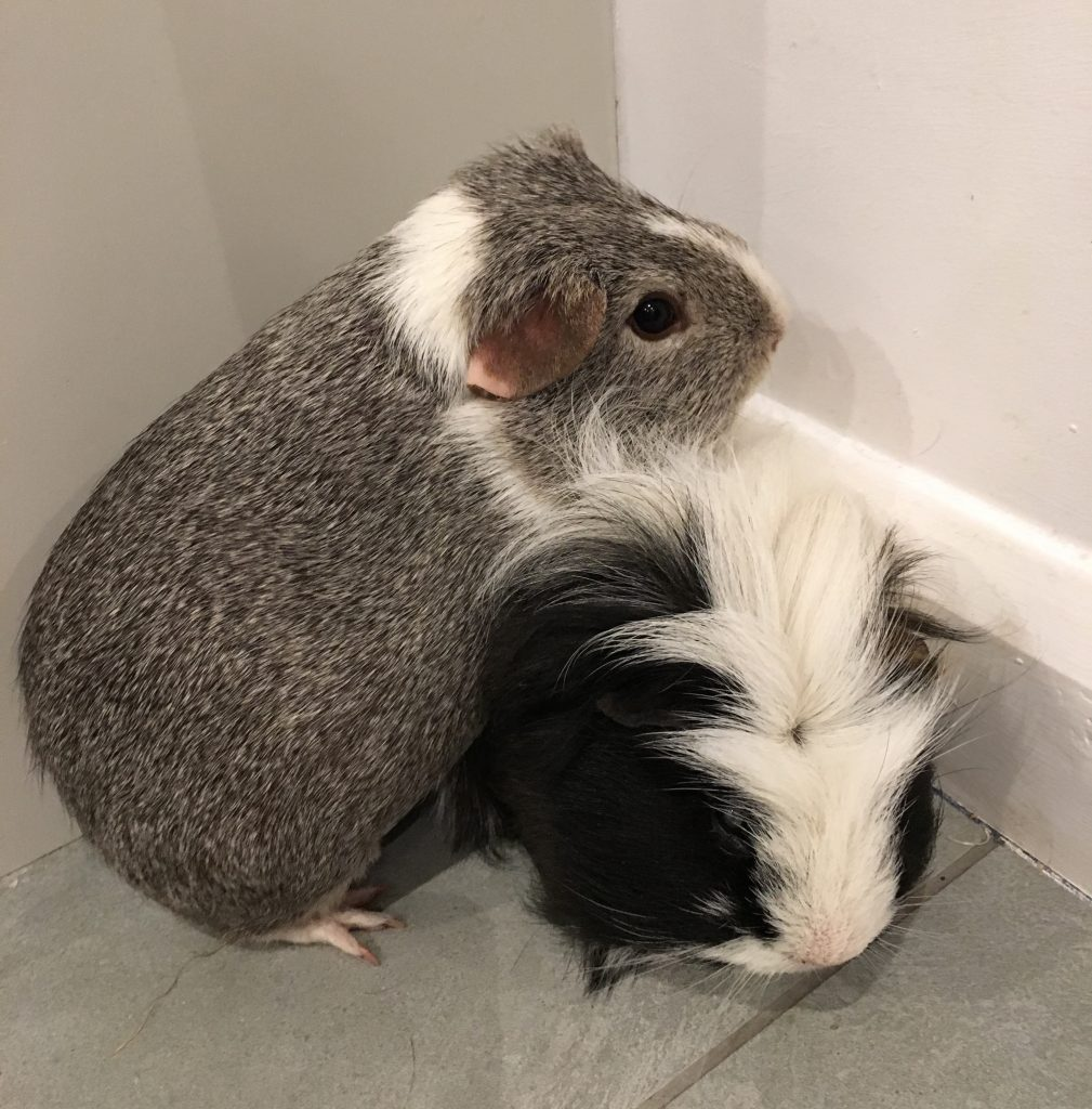 guinea pigs, Eric, Wilfred, pets, 365