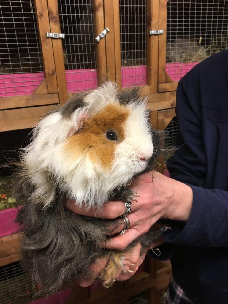 Guinea pig, Introducing Cedric, Male guinea pig, Laryanka guinea pig