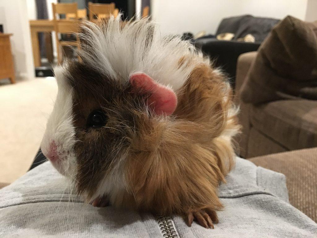 Cedric, guinea pig, pet, 365